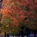 Fall Tree, 1979