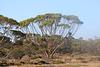 "Eucalyptus sp, known locally as ""water gum""."