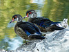 Handsome Wood Ducks