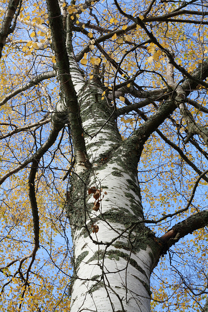 Birch at the shore