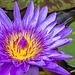Lotus d'Orient IMGP0007