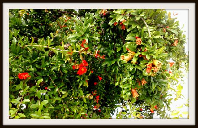 Pomegranate tree