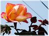 Rosas em Março