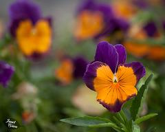 347/366: Pretty Pansies