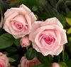 UNE CHOUETTE DE ROSE !!!!