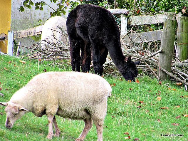 # 3.  Sheep and Alpaca.