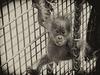 Orang-Utan-Baby Berani (Zoo Heidelberg)