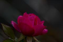Une rose pour Noel