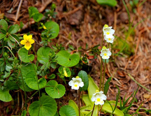weisses Alpen-Fettkraut - Grassette des Alpes - Alps butterwort