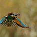 Guêpier d'Europe Merops apiaster - European Bee-eater retour de chasse