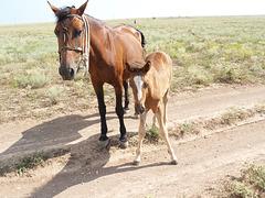 Лошадки в Тарханкутской степи