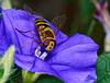 Syrphus ribesii (PiP)
