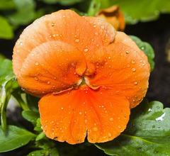 Pensee orange