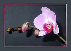 Pink Orchid-1 ©UdoSm