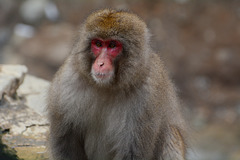 Japan, Jigokudani Yaen-Kōen Snow Monkey Park, Portrait of Adult Japanese Macaque