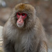 Japan, Jigokudani Yaen-Kōen Snow Monkey Park, Portrait of Adult Japanese Macaque