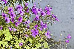 Violet Wood Sorrel – Botanical Garden, Montréal, Québec