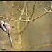 Mésange à longue queue DSC0512