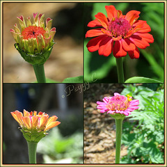 Colors of  Zinnias ..