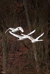 Tagada...swan swan !