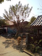 Vache et tigre / Cow & tiger   (Laos)