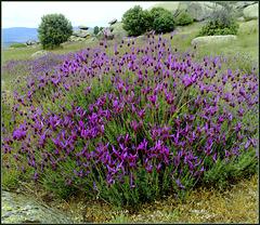 Spanish lavender in granite country.