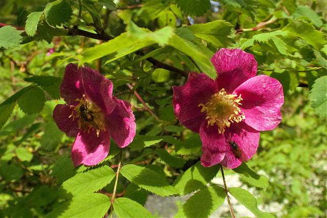 Rosier des Alpes = Rosa pendulina, Rosacées (Haute-Savoie, France)