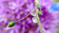 Allium miniature..