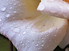 Raindrops On Rose Petal