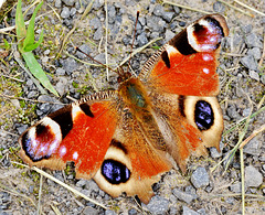 Peacock Butterfly. Inachis io