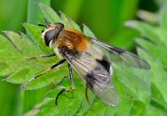 Hoverfly. Volucella pellucens....or Leucozona lucorum??