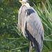 Heron posing (1)
