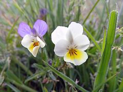Field Pansy.   Viola arvensis