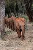 Baby elephants on parade
