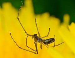 Long Jawed Web Spider. Tetragnathidae