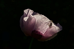 Mohnblütenrandbesteigung
