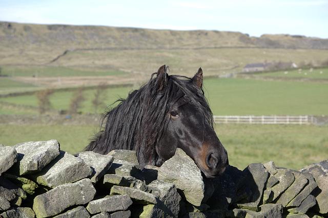 The dreadlock horses 1 of 2