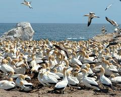 Cape Gannets at Lambert's Bay, South Africa