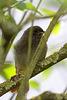 Junger Hausrotschwanz im Busch
