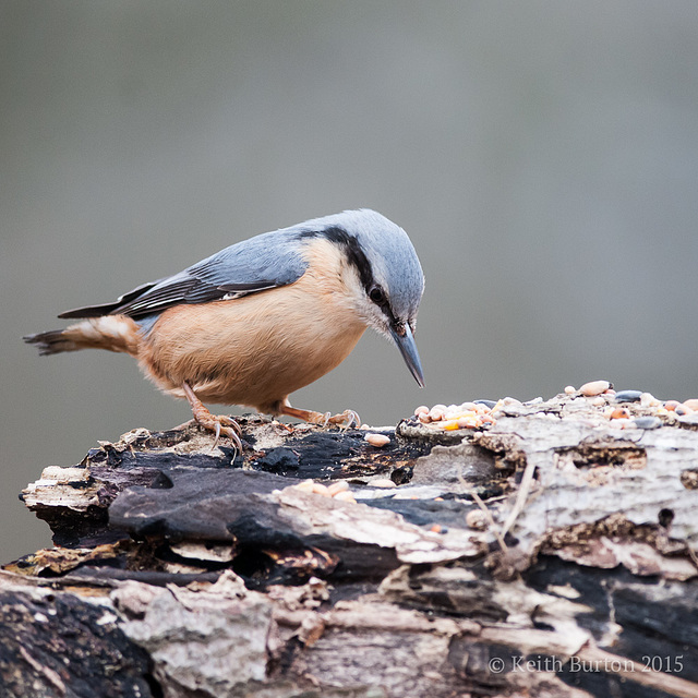 Dicky birds of the New Forest - Nuthatch