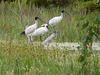 ibis and royal spoonbill