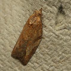Moth IMG 6511