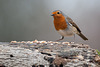 Dicky birds of the New Forest - Robin