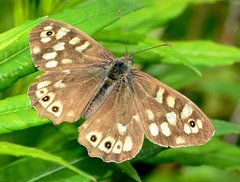 Speckled Wood. Pararge aegeria