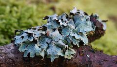 Flechte (Parmelia sulcata, im Deutschen gelegentlich Sulcatflechte genannt,)