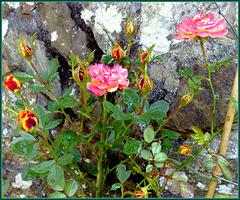 My mum's garden; roses