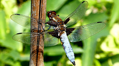 Broad-bodied chaser (male)