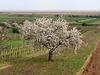 Kirschblüte im Burgenland
