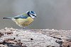 Dicky birds of the New Forest - Blue Tit