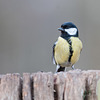 Dicky birds of the New Forest - Great Tit